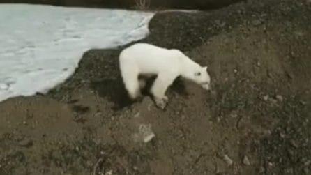 Orso polare cerca cibo tra i rifiuti: l'effetto dei cambiamenti climatici