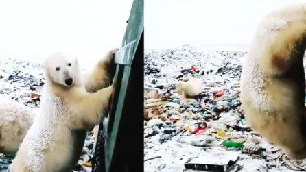 Affamati e impauriti: un gruppo di orsi polari rovista tra i rifiuti