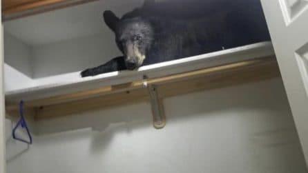 Strani rumori provenienti dalla stanza: un orso si è nascosto nell'armadio