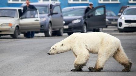 Orso polare rovista tra i rifiuti della città in Siberia: le immagini strazianti