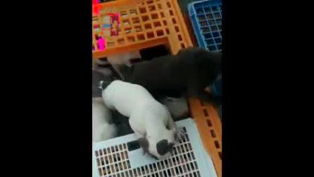 Trasporta 53 cuccioli di cane stipati in 6 gabbie, fermato in autostrada