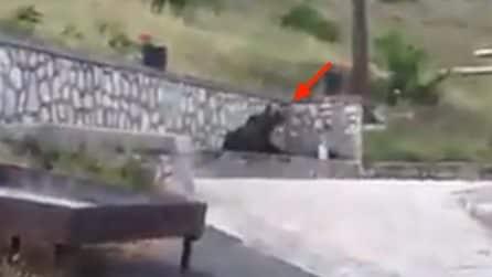Caldo asfissiante e l'orso trova una rinfrescante soluzione