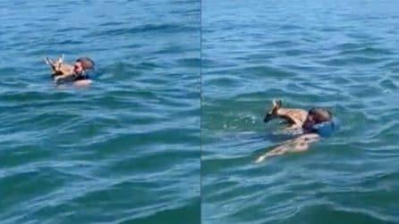 Il cerbiatto sta annegando nel lago, un uomo lo vede e si tuffa