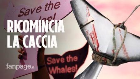Giappone, ripresa la caccia commerciale alle balene dopo 30 anni: ucciso primo esemplare
