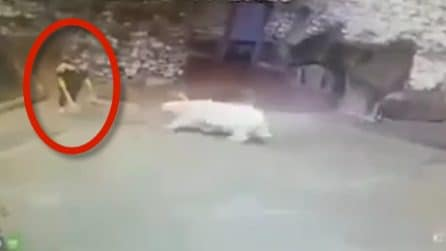 Orso polare parte all'attacco di una donna: le immagini da brividi