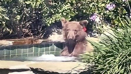 Il padrone di casa trova un orso nella vasca idromassaggio: gli effetti del gran caldo