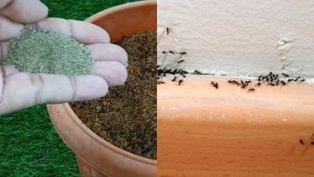 Come tenere lontane le formiche e proteggere le tue piante
