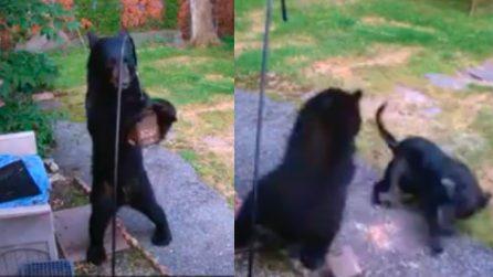 Orso entra in un'abitazione in cerca di cibo, il cane lo affronta