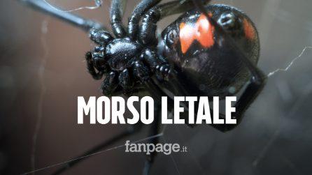 Morso dal ragno vedova nera in giardino: 50 è in gravi condizioni, ma è salvato dall'antidoto