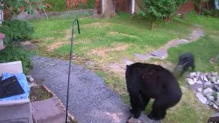 L'orso entra nel cortile: il cane senza paura lo affronta e prova a scacciarlo