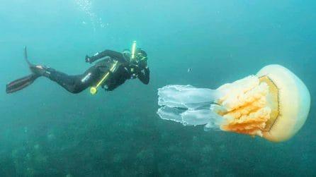 La medusa gigante nuota accanto al sub: l'incontro con il polmone di mare, presente anche in Italia