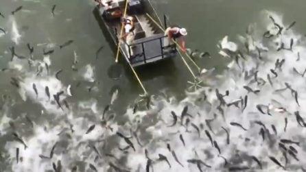 Centinaia di carpe: appena l'uomo tocca l'acqua spuntano fuori