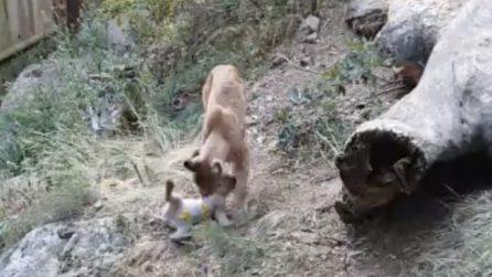 Grande sorpresa dopo 100 anni: il cucciolo di lince europea fa il suo debutto