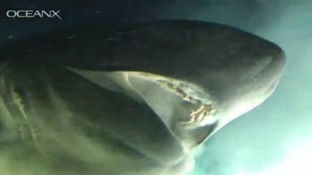 Spunta dal fondo del mare ed è impressionante: è uno degli squali più grandi al mondo