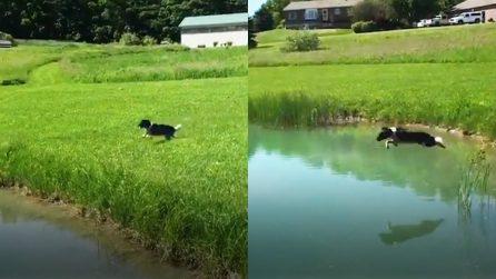 Ringo, il cane campione di tuffi che è diventato la star di Instagram
