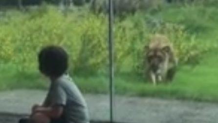 Il grosso leone punta il bambino e prova ad afferrarlo