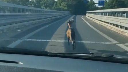 Roma, una capra cammina su una strada statale