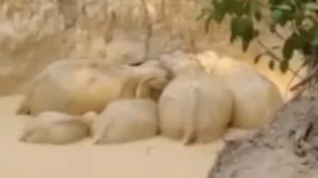 Elefanti intrappolati in una fossa di fango rischiano di morire
