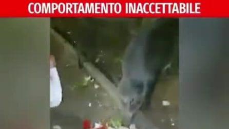 Roma, operatori Ama danno da mangiare ai cinghiali. Raggi pubblica il video