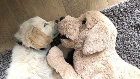L'inseparabile coppia. Il Golden Retriever e il suo peluche ci mostrano cos'è la vera amicizia