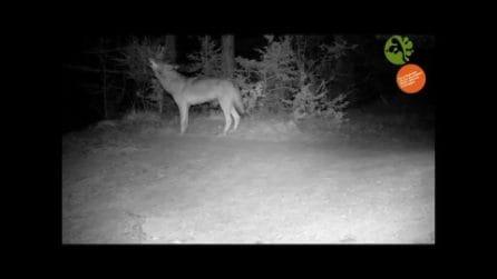 Il lupo ulula, il branco risponde: il richiamo notturno