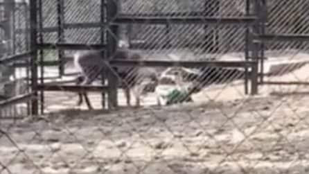 Un grosso cervo attacca la guardia dello zoo: incornato e buttato a terra