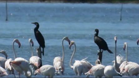 Centinaia di fenicotteri rosa giunti alla laguna di Orbetello per svernare: le splendide immagini