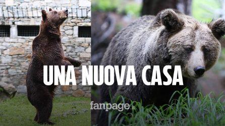 Valtellina: la nuova vita di Medo e Buya, due orsi salvati dai maltrattamenti