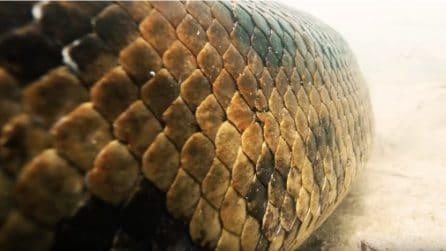 Nuotando insieme a un'anaconda gigante: il video da brividi