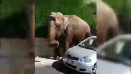 Francavilla Fontana, elefante sorpreso a passeggiare sul marciapiede