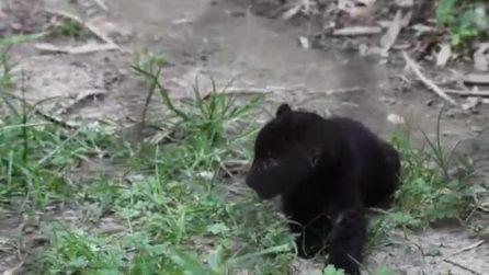 Doppio fiocco al Parco delle Cornelle: nati due cuccioli di pantera nera