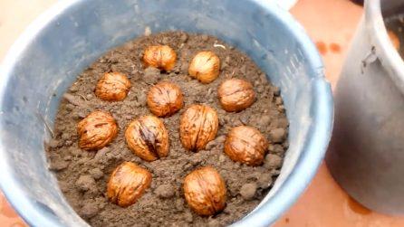Come coltivare le noci nel proprio giardino