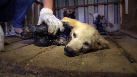 Cuccioli intrappolati nel catrame. Il salvataggio miracoloso degli attivisti eroi