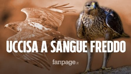 """Aquila protetta del Bonelli uccisa a fucilate, LIPU: """"Sospensione caccia a tempo indeterminato"""""""