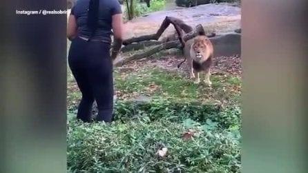 Entra nel recinto dei leoni e inizia a ballare: follia allo zoo