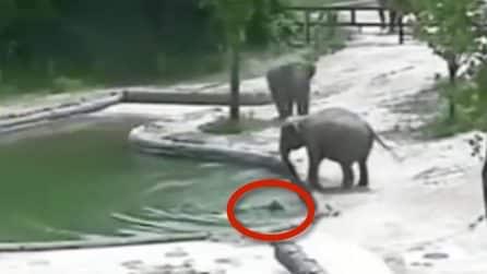 Il cucciolo cade in acqua e rischia di annegare: mamma e papà elefante lo salvano