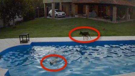 La pitbull cieca cade in piscina e rischia di annegare: salvata dalla sua inseparabile amica