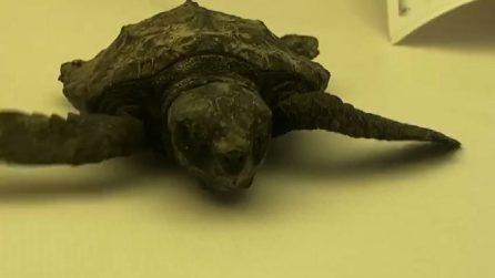 La baby-tartaruga marina salvata dal Pronto soccorso di Zoomarine