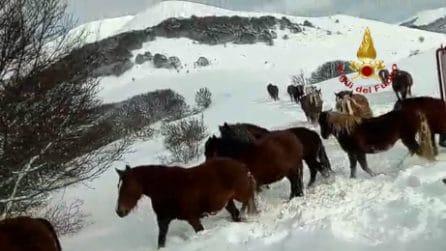 Cavalli bloccati dalla forte nevicata, i vigili del fuoco li riportano al sicuro