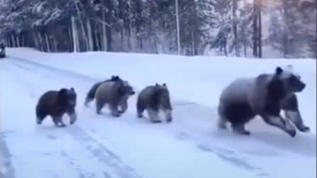 Mamma orsa con i 4 cuccioli attraversano il sentiero innevato: l'avvistamento da brividi