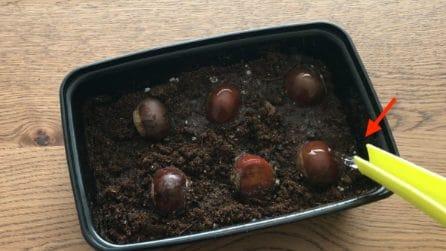 Come coltivare il castagno nel tuo giardino