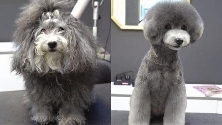 La trasformazione del cucciolo dopo la toelettatura è una scarica di tenerezza