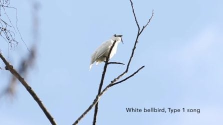 La serenata più rumorosa del mondo: ecco il canto del campanaro bianco dell'Amazzonia