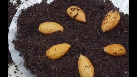 Come coltivare il mandorlo utilizzando i frutti