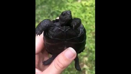 Questa tartaruga nera fa l'occhiolino