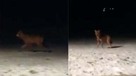 Automobilista incontra l'animale nella notte e prova ad avvicinarsi