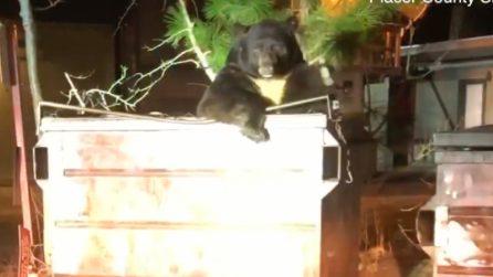 L'orso dall'espressione triste: è rimasto bloccato da solo in un cassonetto dell'immondizia