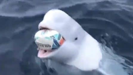 Il beluga si avvicina alla barca e gioca a rugby: la performance è unica