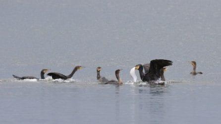 Cormorani si contendono sogliola gigantesca: la battaglia sul pelo dell'acqua