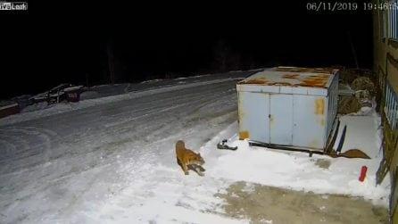 Una tigre si aggira per strada nella notte: ripresa dalle telecamere di sicurezza